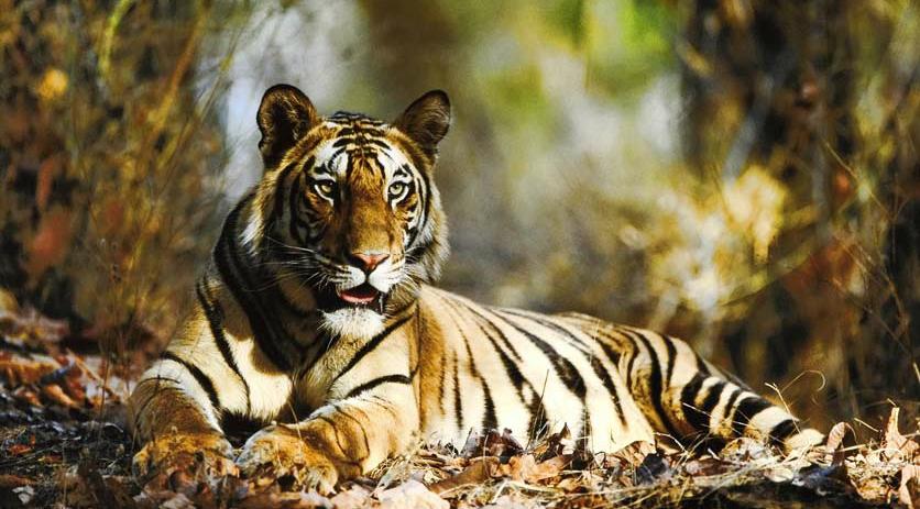 Circuit dans les parcs et réserves naturelles de l'Inde - Les meilleurs parcs où l'on peut voir tigres, gaurs, chital, pangolin, crocodiles, éléphants, rhynoceros