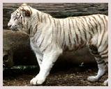 Visite du parc national de Bandhavgarh situé à Madhya Pradesh, célèbre réserve de tigres blancs. Jeep safari, safari éléphant
