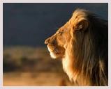 Visite du parc Sasan Gir, situé dans le Gujarat, dernière population au monde de lions d'Asie, ancêtres des lions d'Afrique. Lion safari, jeep safari, excursions