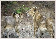 Voyage en Inde, guide francophone pour les sites et guides naturalistes dans les réserves naturelles de Ranthambore, Bandhavgarh et Kanha. Safari inclu dans votre circuit en Inde